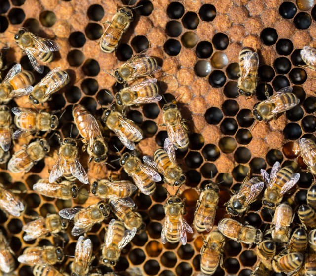 bees and queen bee with brood
