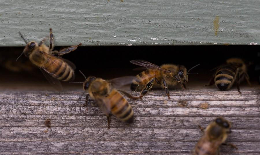 bees at hive mouth