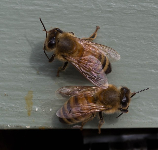 bees cleaning outside hive