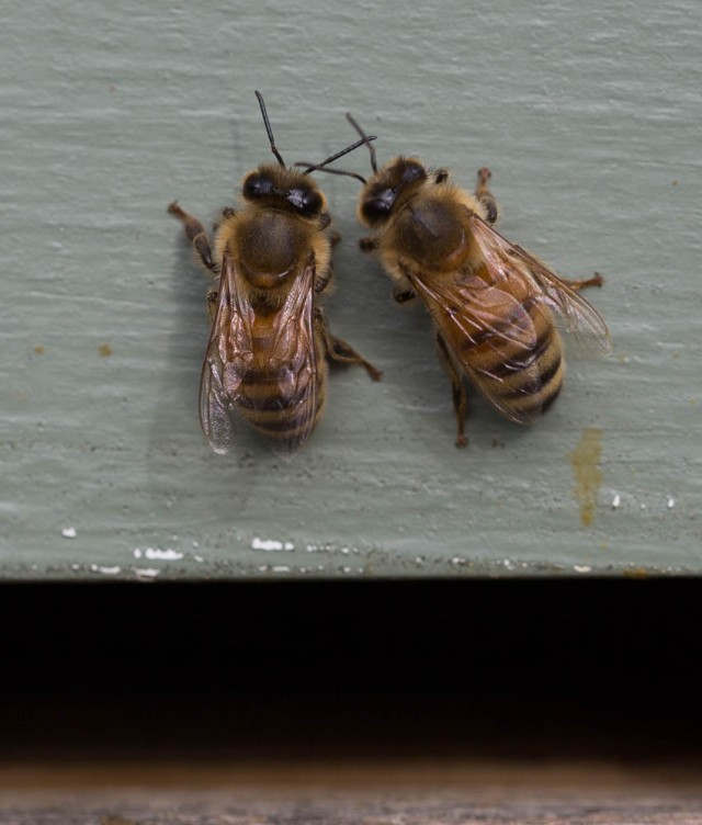bees conversing on hive