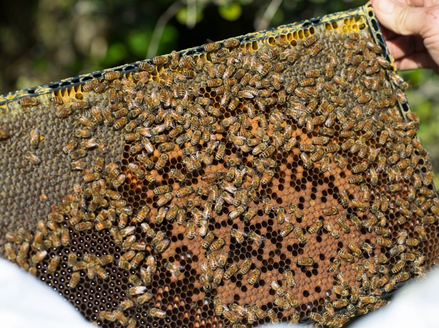 bees on frame with queen