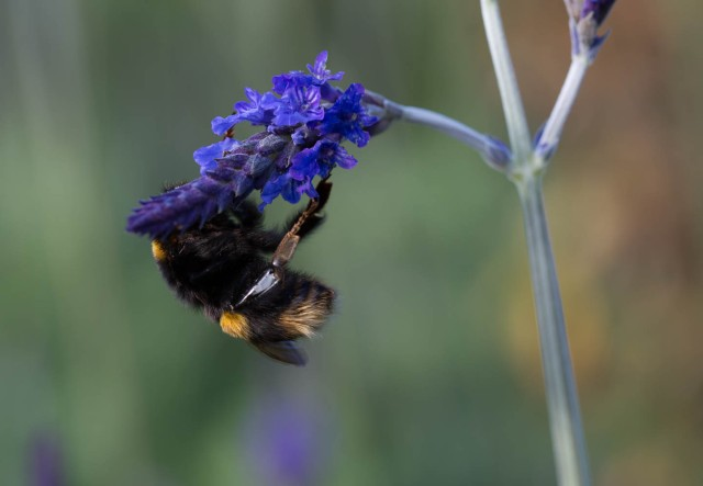 Bumble Bee on lavender Sidonie 1