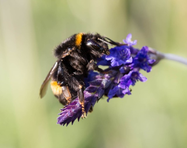 Bumble Bee on lavender Sidonie 3