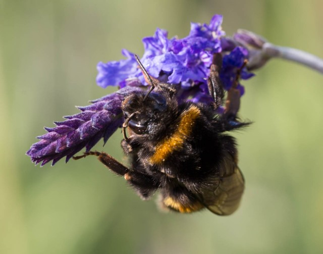 Bumble Bee on lavender Sidonie 4