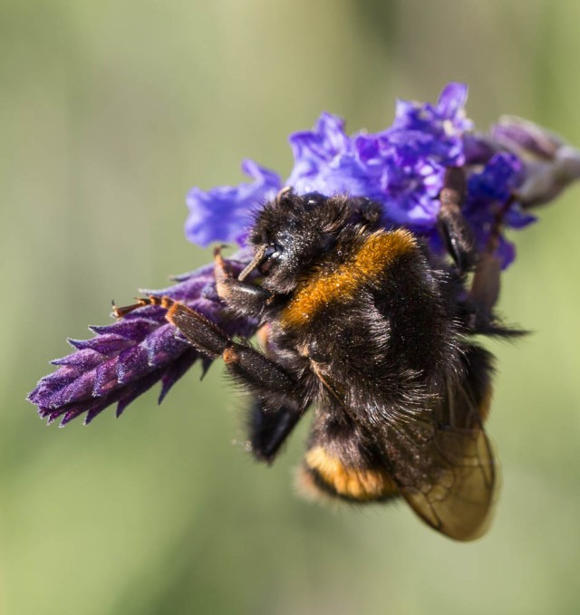 Bumble Bee on lavender Sidonie 5