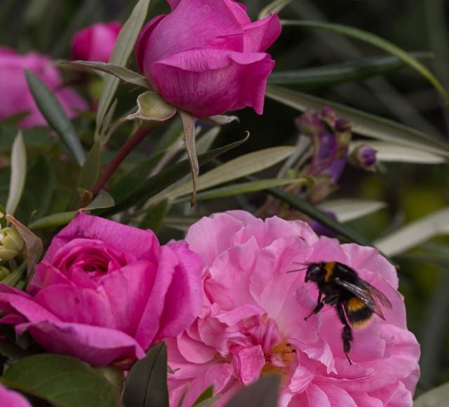 Bumblebee on rose Gertrude Jeykll