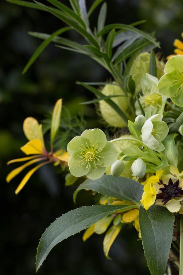 cut flower hellebore sternii