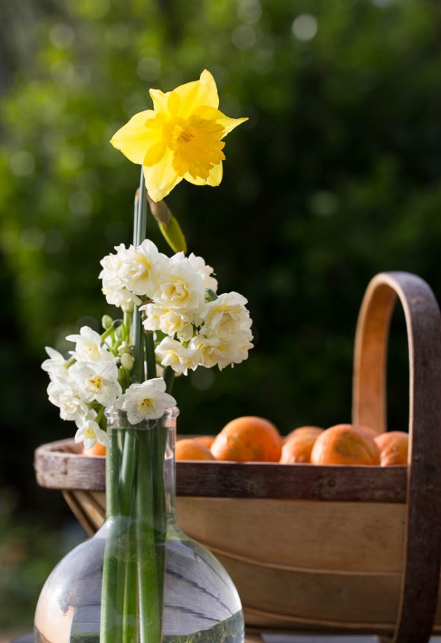 daffodil and narcissus with oranges in trug