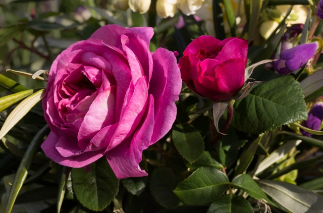English rose Gertrude Jeykll cut flower