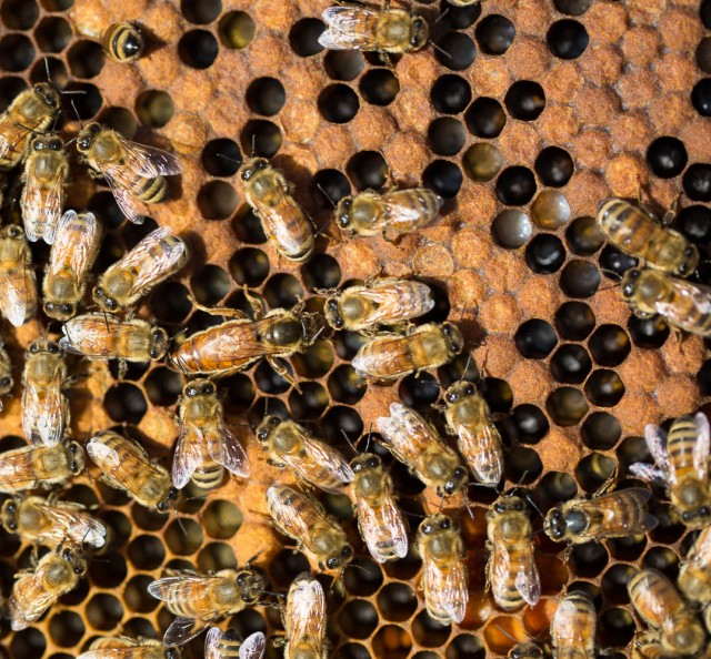 honey bees and queen with brood
