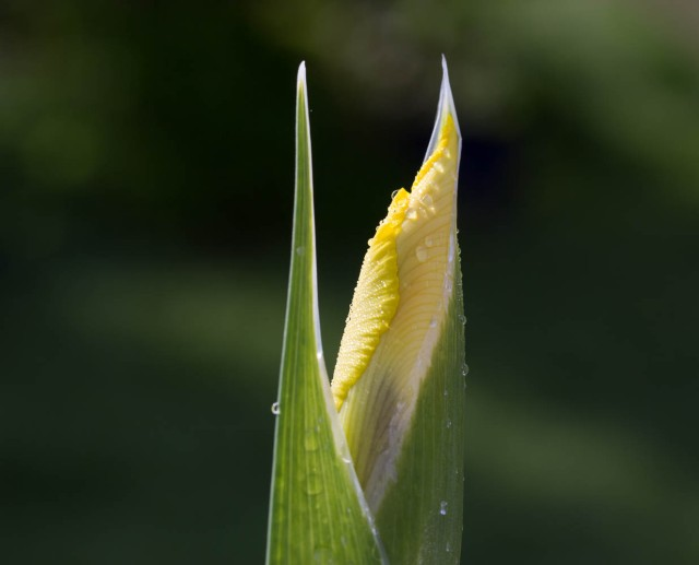 yellow dutch iris bud with water droplets