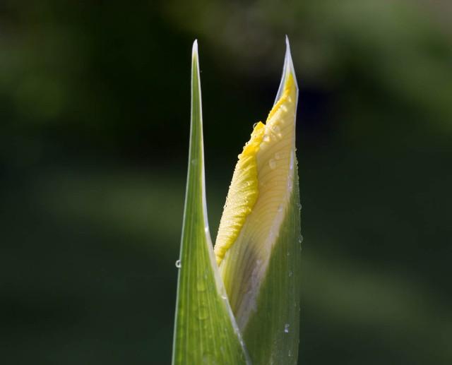 yellow dutch iris bud with water droplets