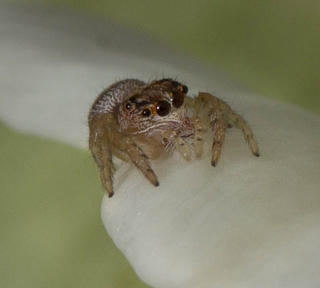 Jumping Spider Kawhia NZ