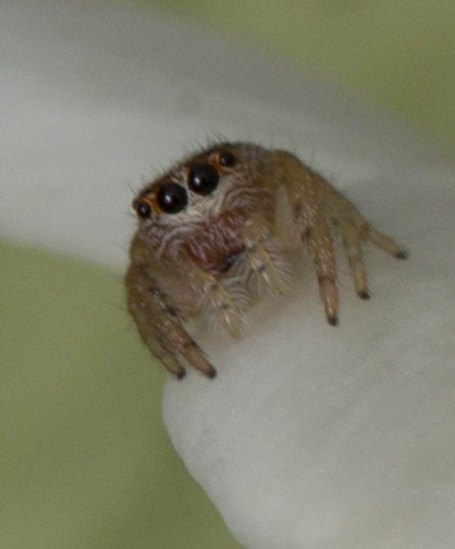 jumping spider New Zealand North Island