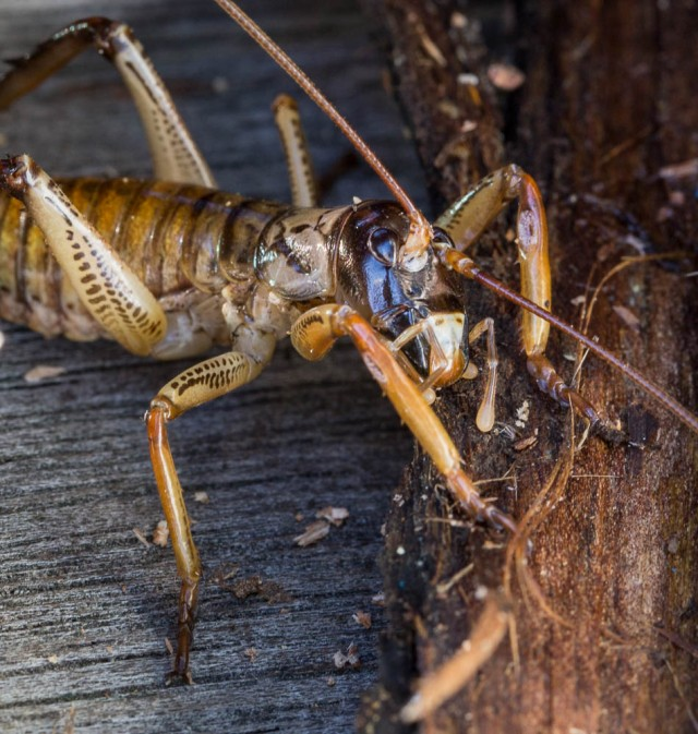 Male tree weta
