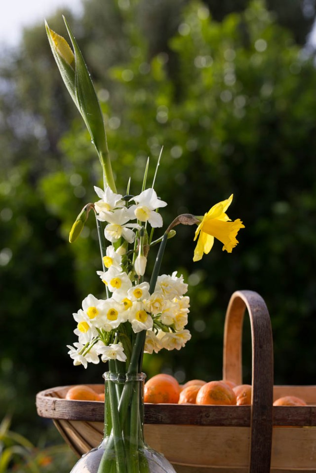 narcissus cut flowers and oranges