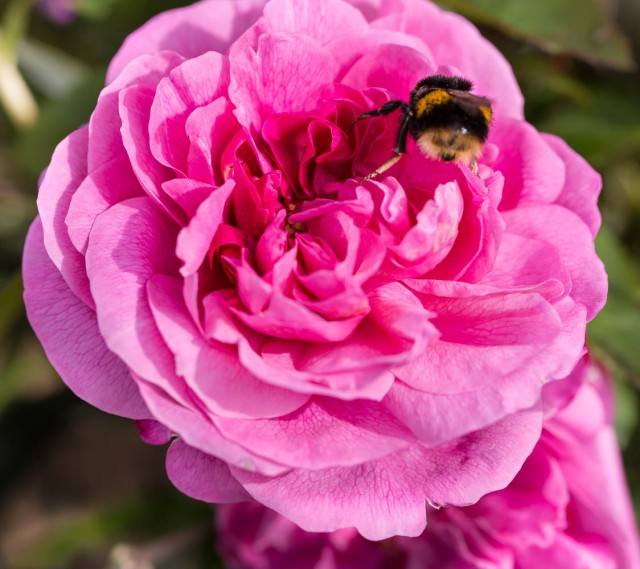 Rose Gertrude Jeykll with bumble bee