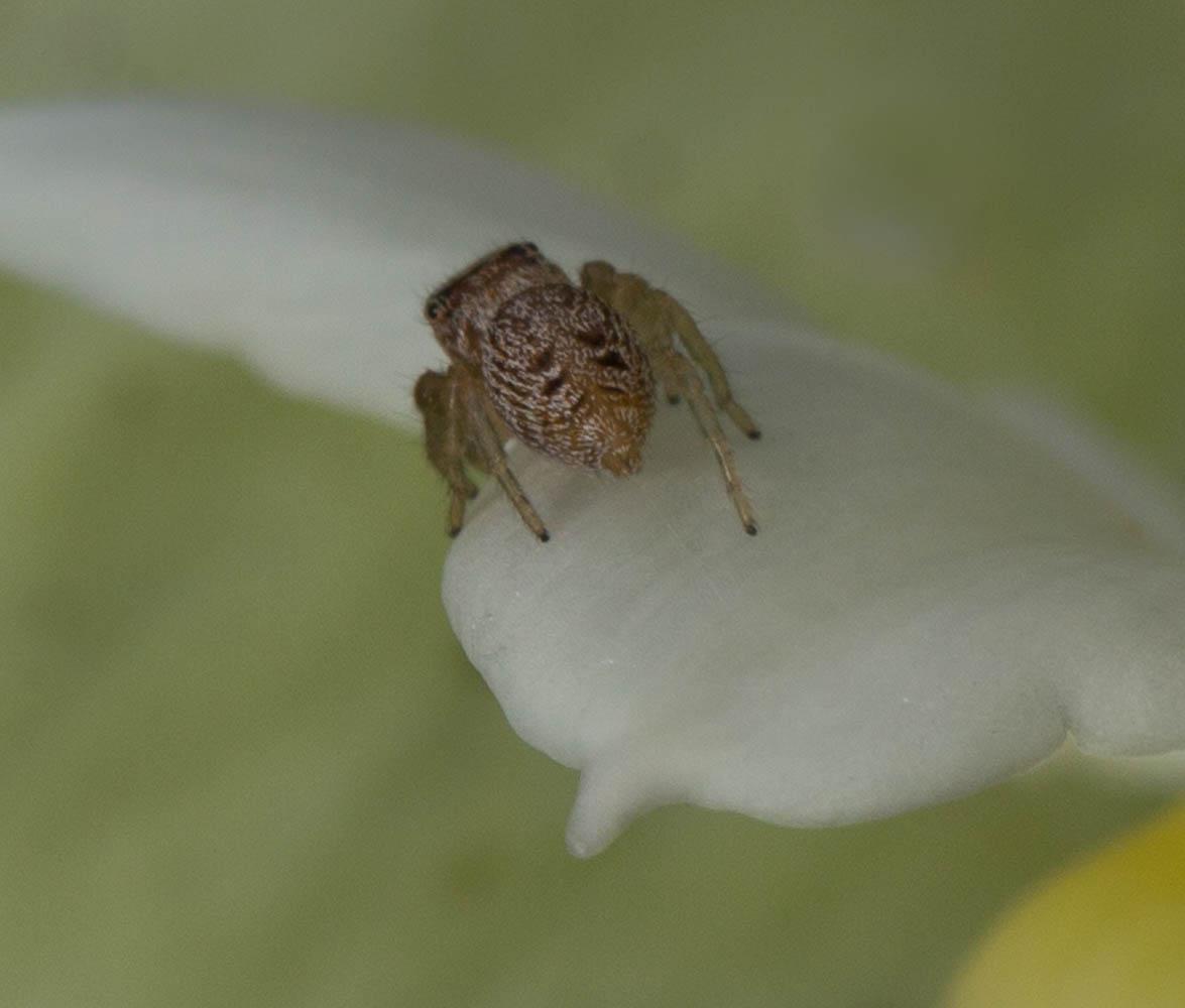 spider Salticidae NZ