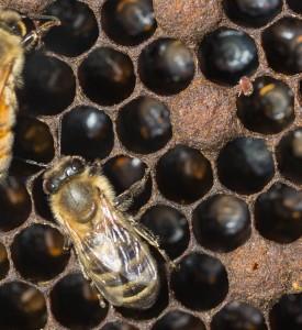 varroa mite on brood cell