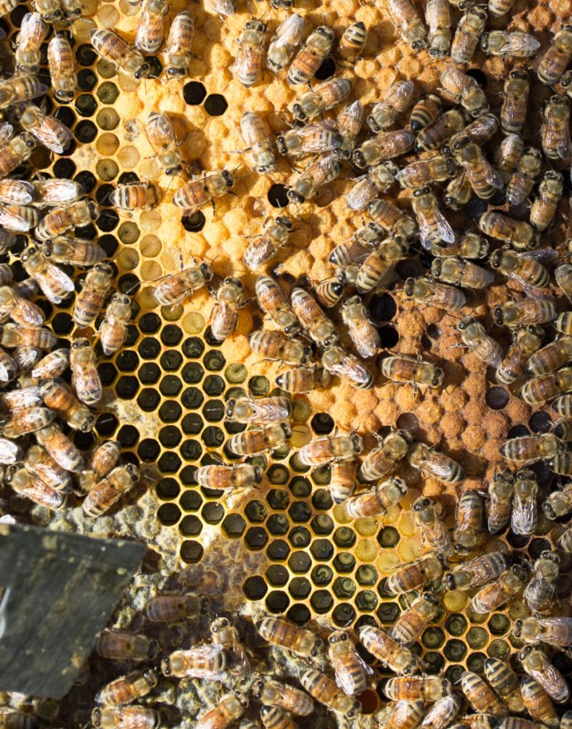 bees brood all ages in hive