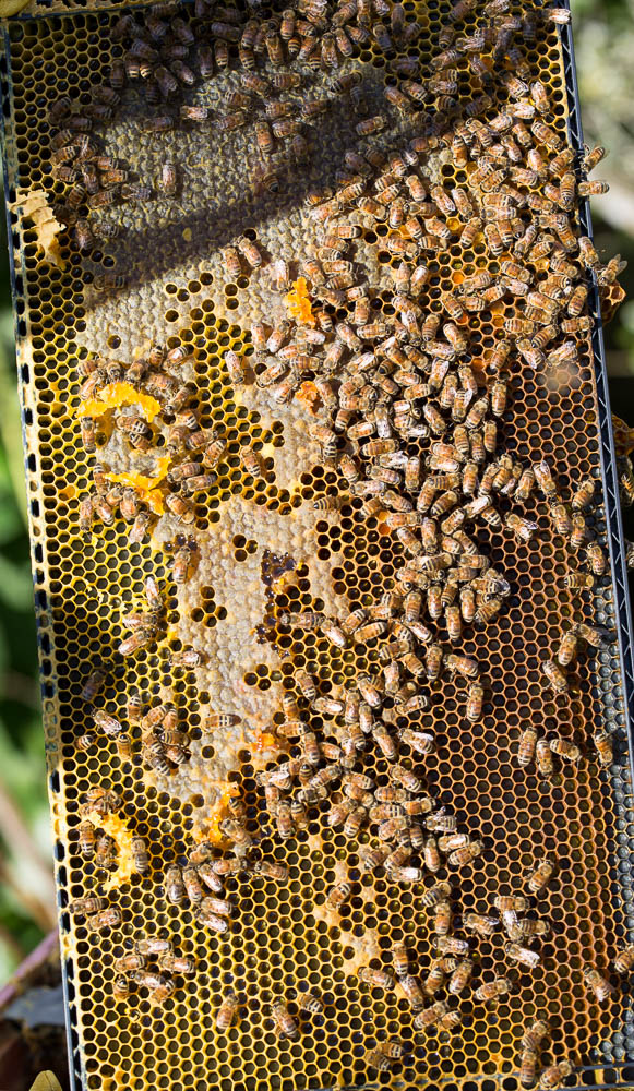 bees on frame
