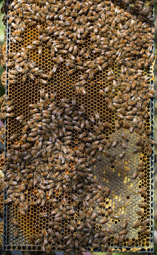 bees with brood (2)