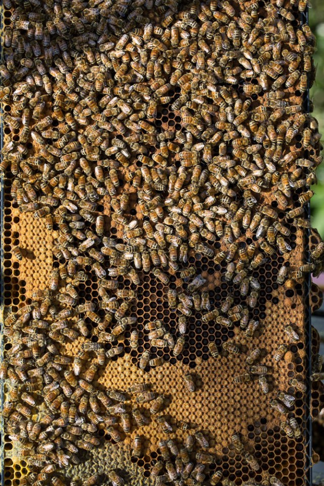 bees with brood in hive