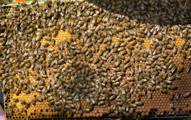 bees with brood on frame