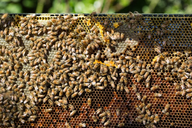 bees with brood