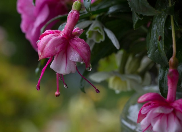 fuschias with raindrops