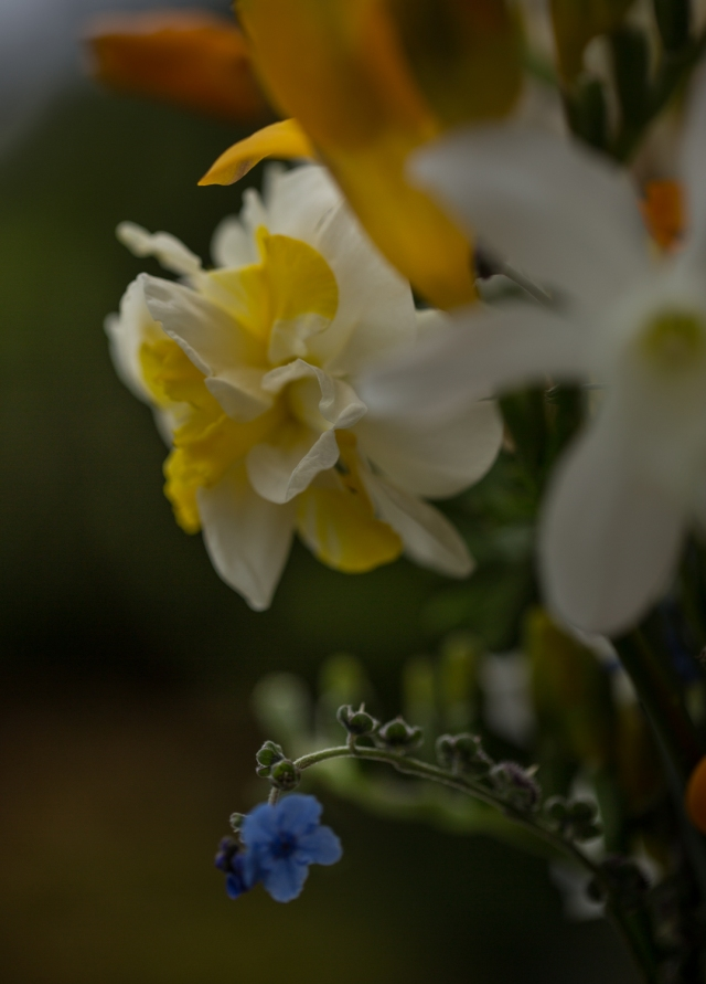 daffodil and forget me not flowers