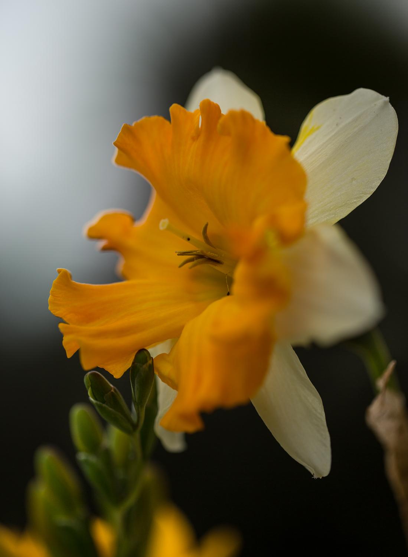 daffodil flower photograph