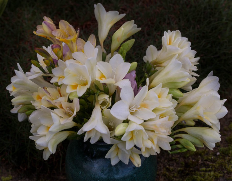 freesias burtonii