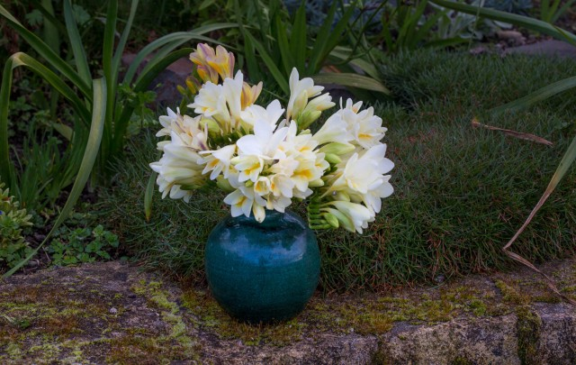 freesias cut flowers