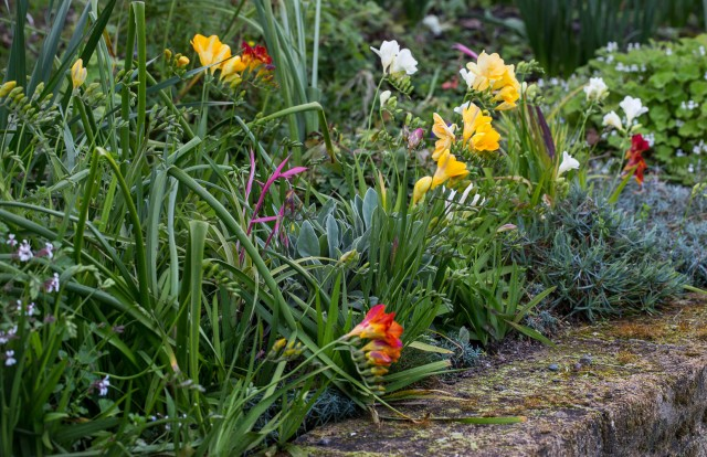 spring bulbs freesias and bilbergia