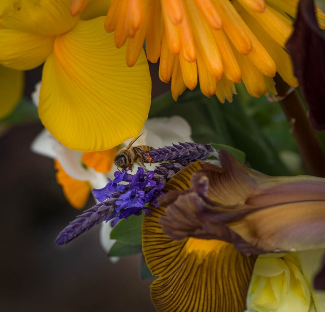 dutch iris and sidonie lavender and bee