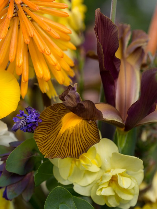 dutch iris narcissus and kniphofia