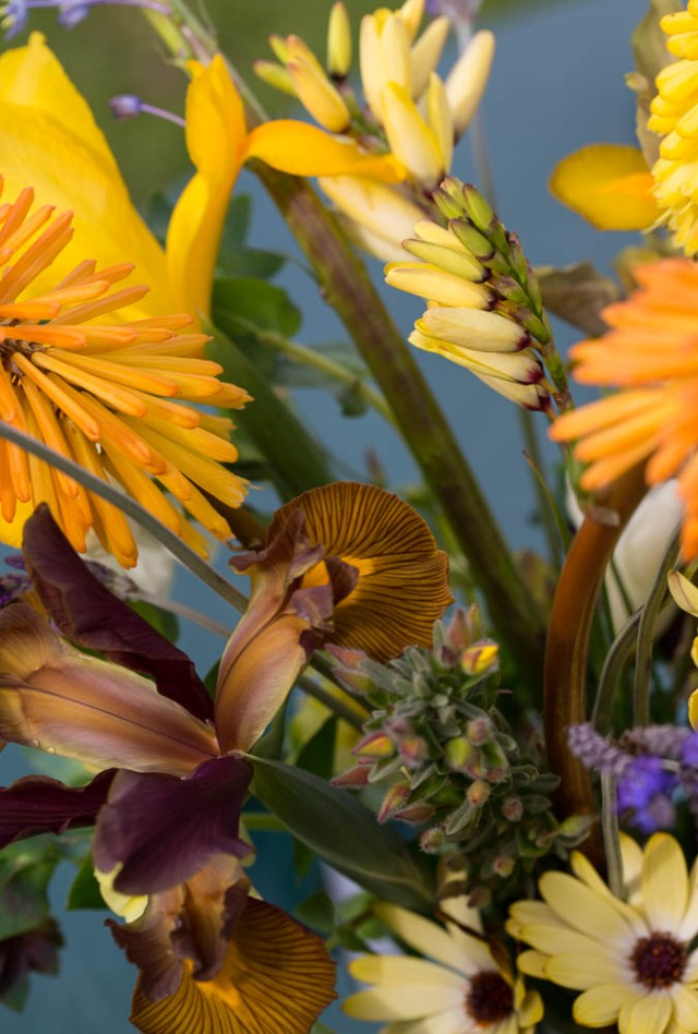 osteospermum buttermilk dutch iris and kniphofia