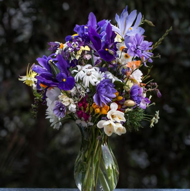 purple dutch iris spring bulbs and cineraria