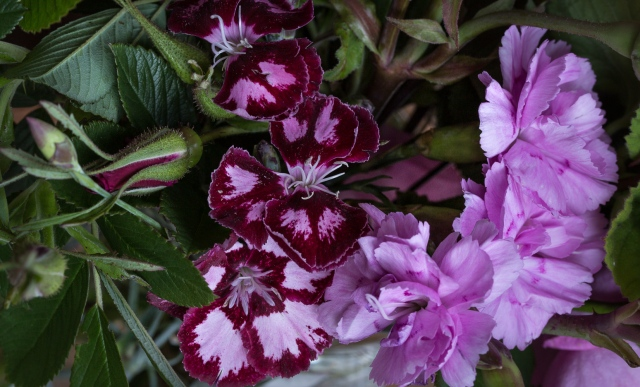 pinks dianthus cut flowers and rugosa rose