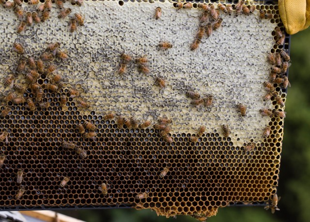 bee frame with honey and nectar