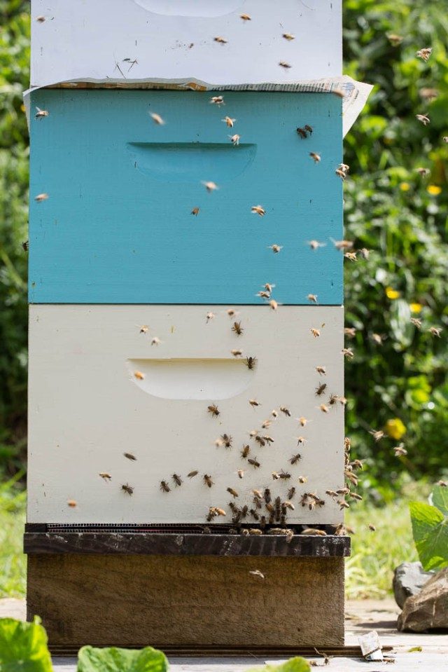 bee swarm in new frame on hive with newspaper