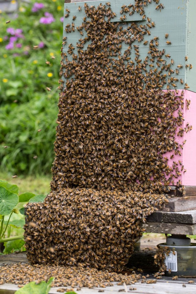 bees swarming going back into hive