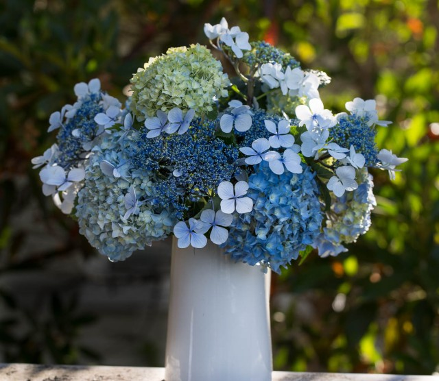 blue hydrangeas in a white jug