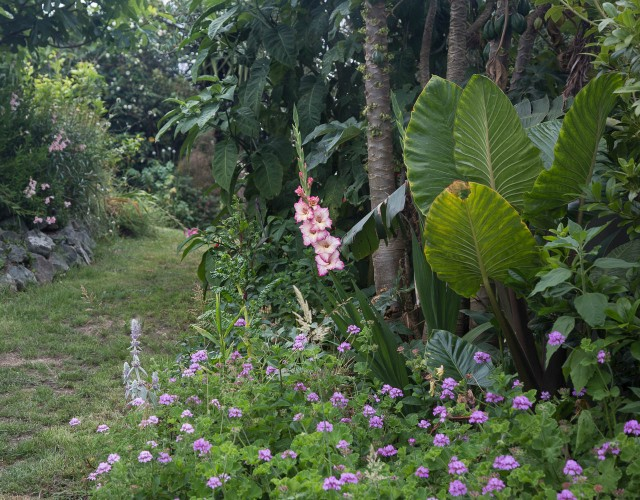 gladiola in garden with mountain papaya