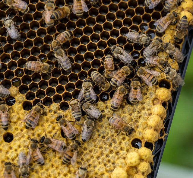 honey bee drone brood