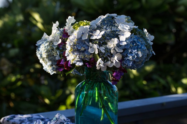 hydrangeas blue wave and macrophylla