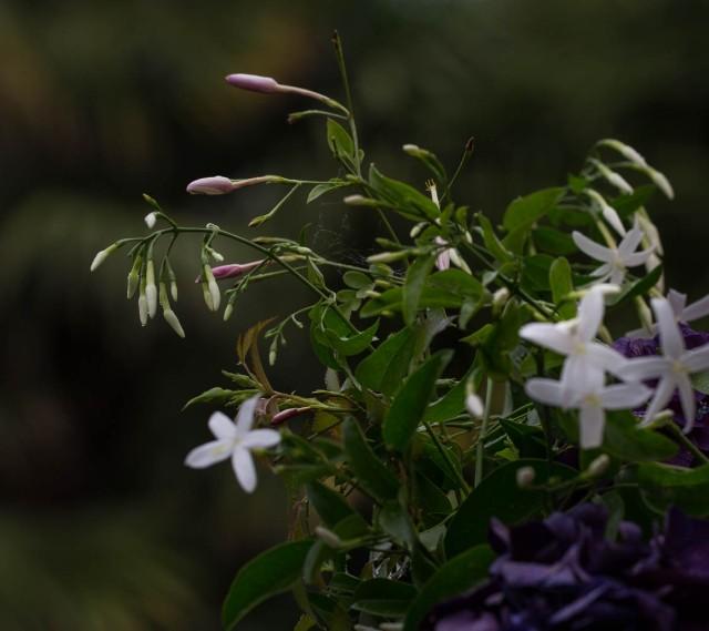 jasmine and tracelospermum