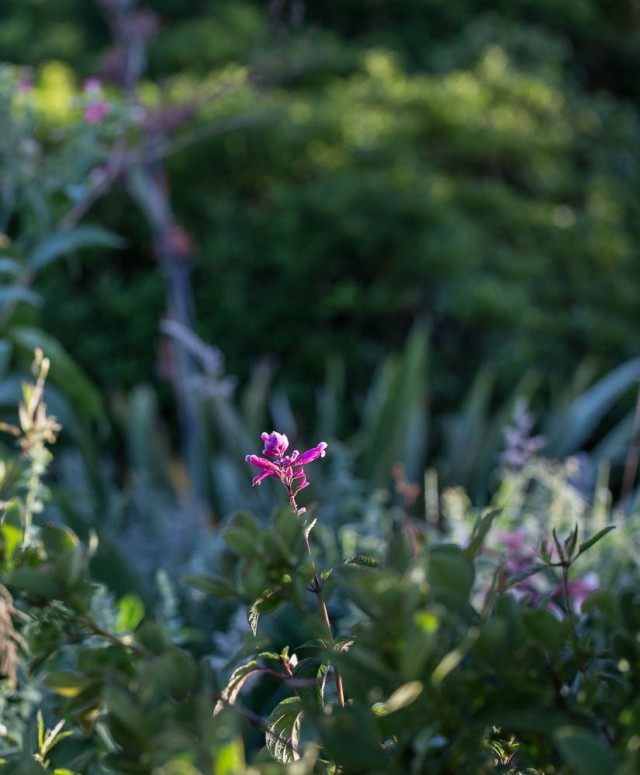 Salvia Bouton with Phormium in the background