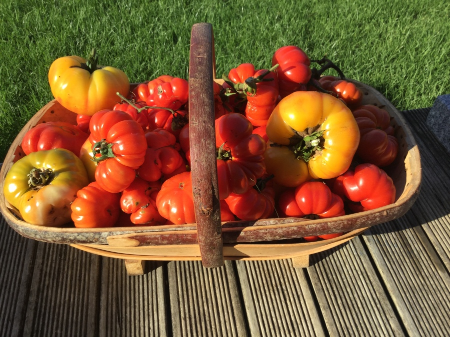 Organically grown tomatoes in trug